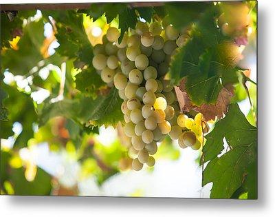 Harvest Time. Sunny Grapes Iv Metal Print