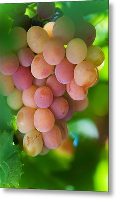 Harvest Time. Sunny Grapes Metal Print by Jenny Rainbow