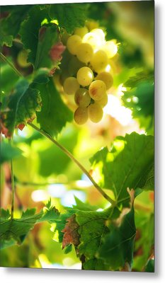 Harvest Time. Sunny Grapes Vii Metal Print by Jenny Rainbow