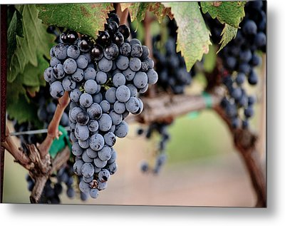 Harvest Time Metal Print by Swift Family