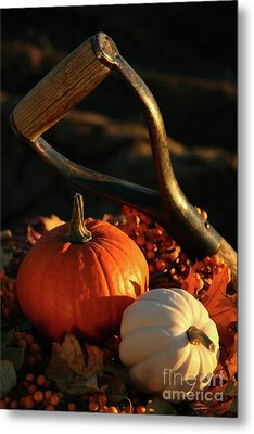 Harvesting For Thanksgiving Metal Print by Sandra Cunningham