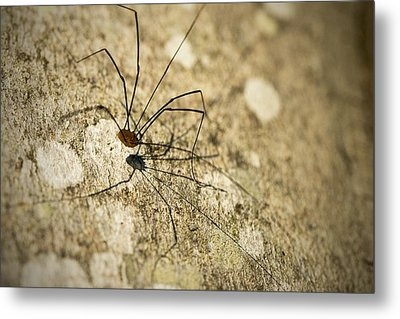 Metal Print featuring the photograph Harvestman Spider by Chevy Fleet