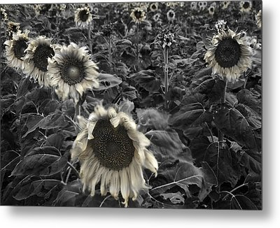 Haunting Sunflower Fields 2 Metal Print by Dave Dilli