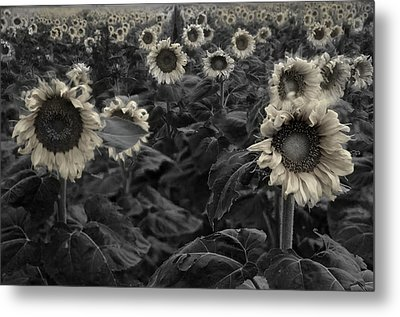 Haunting Sunflowers Field 3 Metal Print by Dave Dilli