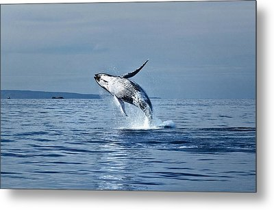 Hawaii Whale Breach Metal Print by Pasha Reshikov