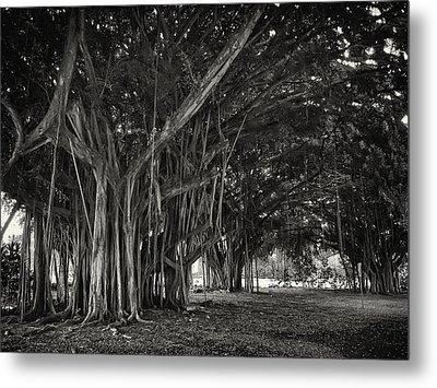 Hawaiian Banyan Tree Root Study Metal Print by Daniel Hagerman