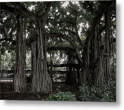 Hawaiian Banyan Trees Metal Print by Daniel Hagerman