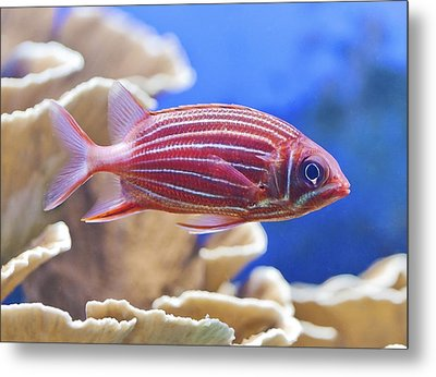 Hawaiian Squirrelfish Metal Print
