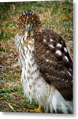 Hawk Metal Print by Dee Flouton
