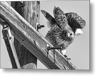Hawk Eye Metal Print
