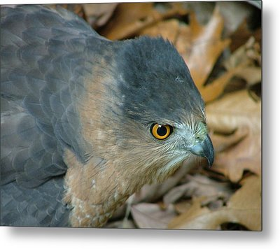 Hawk Eyes Up Close Metal Print