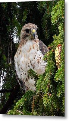 Hawk In Pine Metal Print