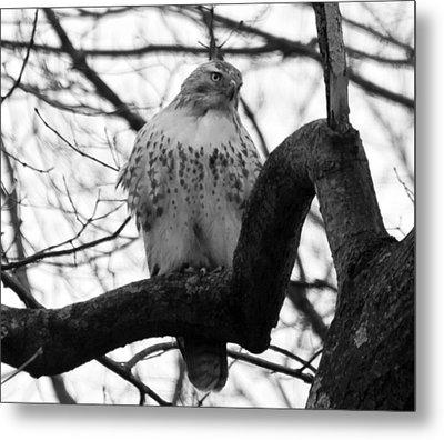 Hawk In Tree Metal Print by Valerie Wolf