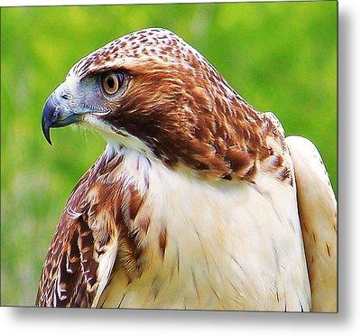 Hawk Is Focused Metal Print