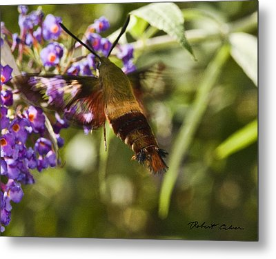 Metal Print featuring the photograph Hawk Moth I by Robert Culver