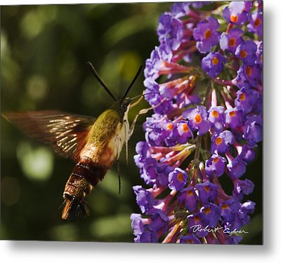 Metal Print featuring the photograph Hawk Moth IIi by Robert Culver