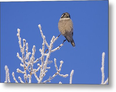 Hawk Owl Perched On Hoarfrosted Metal Print