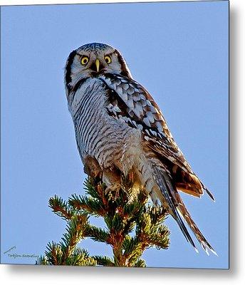 Hawk Owl Square Metal Print