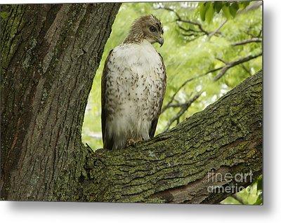 Hawk Stares Metal Print