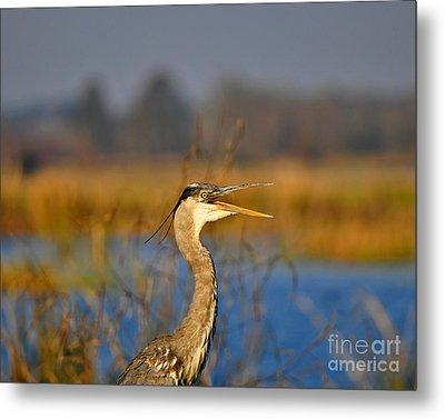 Hawking Heron Metal Print by Al Powell Photography USA