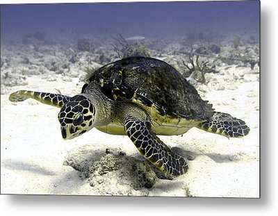 Hawksbill Caribbean Sea Turtle Metal Print by Amy McDaniel