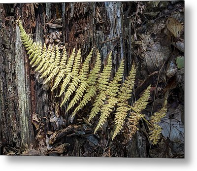 Metal Print featuring the photograph Hay-scented Fern by Andrew Pacheco