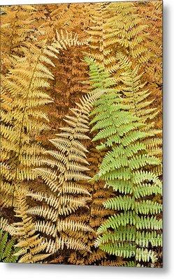 Hay-scented Ferns Metal Print by Alan L Graham