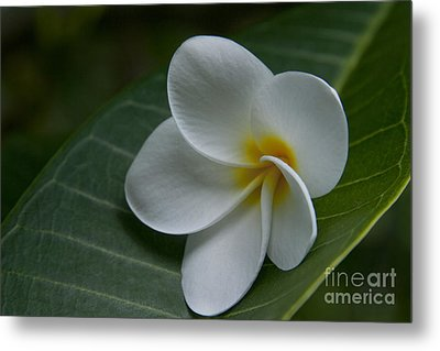 He Aloha No O Waianapanapa - White Tropical Plumeria - Maui Hawaii Metal Print by Sharon Mau