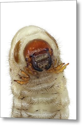 Head Of A Beetle Larva Metal Print by F. Martinez Clavel