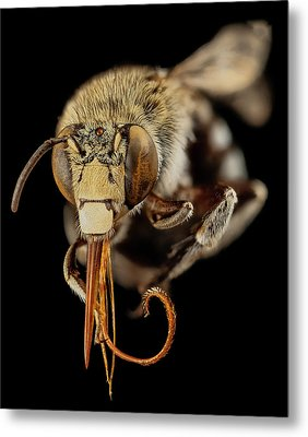 Head Of A Blue Banded Bee Metal Print by Us Geological Survey