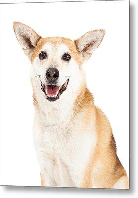Head Shot Of  Australian Cattle And Shiba Inu  Mix Dog Metal Print