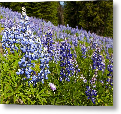 Heavenly Blue Lupins Metal Print by Theresa Tahara