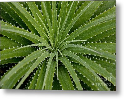 Metal Print featuring the photograph Hechtia Argentea by Scott Lyons
