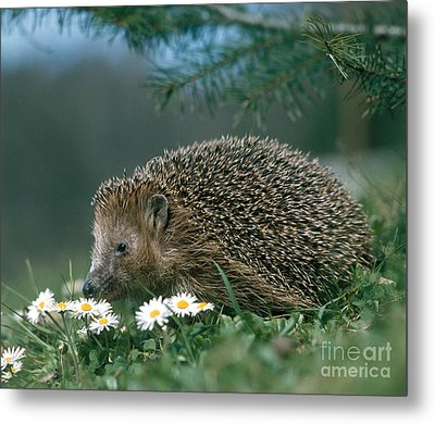 Hedgehog With Flowers Metal Print by Hans Reinhard