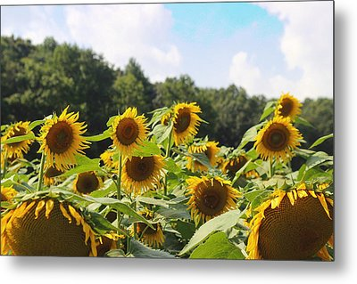 Helianthus Patch 4 Metal Print by Cathy Lindsey