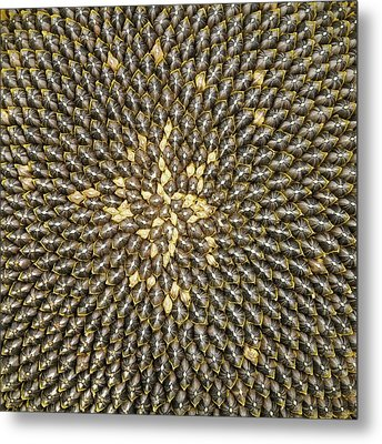Helianthus Sunflower Seeds Close Up Metal Print by Mark Sykes