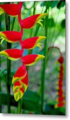 Heliconia--flower In Chiapas Metal Print by Matthew Bamberg