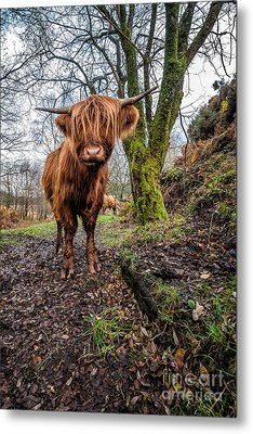 Hello Cow Metal Print by Adrian Evans