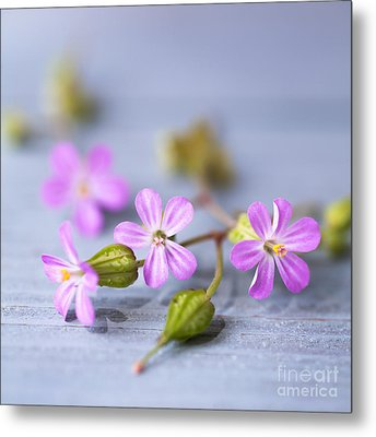 Herb Robert Metal Print