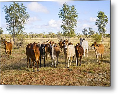 Herd Of Brahman Cattle In Outback Queensland Metal Print by Colin and Linda McKie
