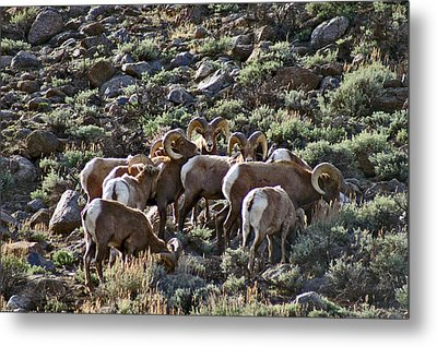 Herd Of Horns Metal Print by Jeremy Rhoades