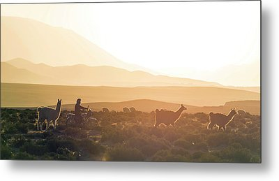 Herd Of Llamas Lama Glama In A Desert Metal Print