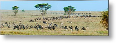 Herd Of Wildebeest And Zebras Metal Print by Panoramic Images