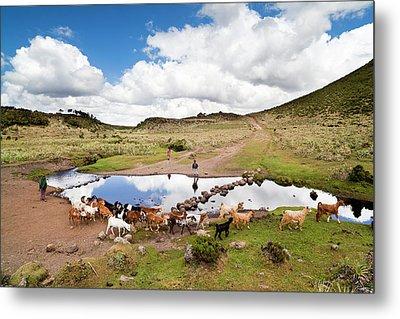 Herd Tended By Oromo Children Metal Print