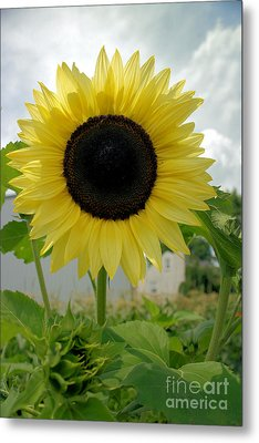 Here Comes The Sun...flower. Metal Print