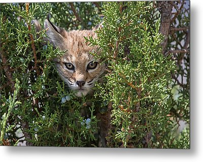 Here Kitty Kitty Metal Print by Sandy Sisti