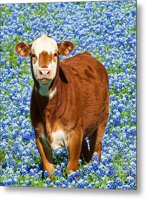 Metal Print featuring the photograph Heres Looking At You Kid - Calf With Bluebonnets In Texas by David Perry Lawrence