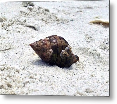 Hermit Crab Of Siesta Key Florida Metal Print