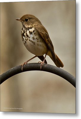 Metal Print featuring the photograph Hermit Thrush by Robert L Jackson