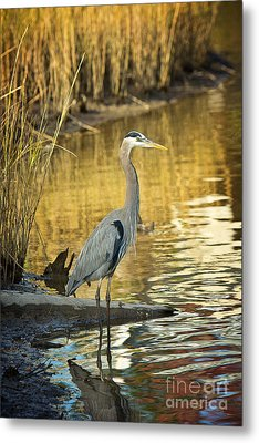 Heron Along The Bayou Metal Print by Joan McCool